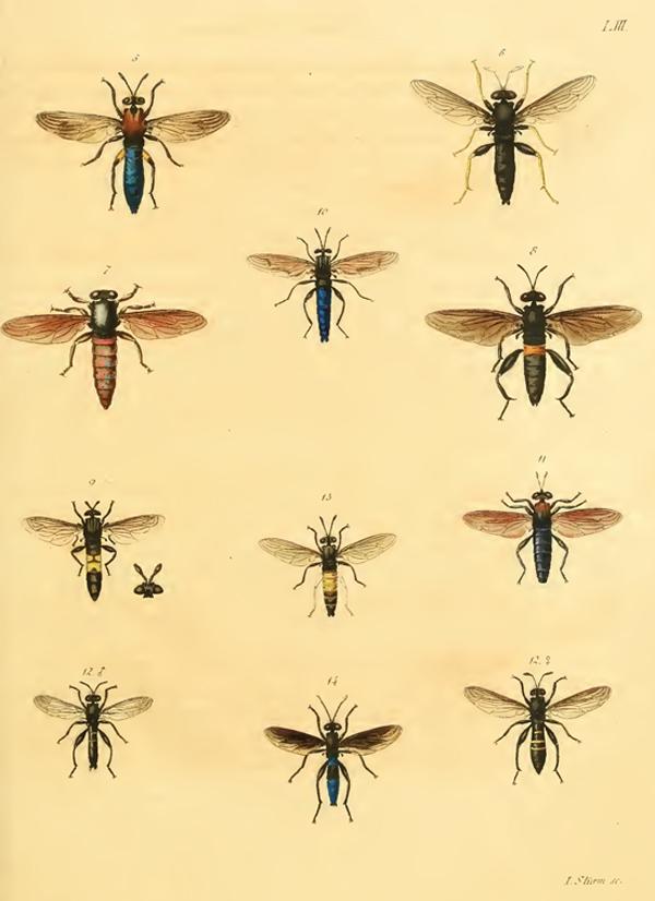Wiedemann 1831 Plate 2