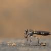 Stichopogon sp. male (in the field). Image © Rob Felix.