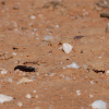 Arenomydas caerulescens (in the field)