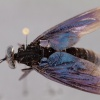 Cacatuopyga auriculosa (female)
