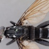 Chrysomydas nitidulus
