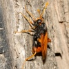 Diochlistus auripennis