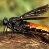 Heteromydas bicolor (in the field)