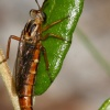 Nemomydas melanopogon