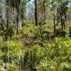 Habitat Ocala National Forest (USA)