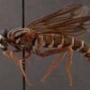 Opomydas limbatus (male)