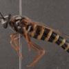 Opomydas townsendi (female)