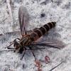 Phyllomydas bruesii (in th field)