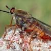 Rhaphiomidas auratus