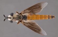 Afroleptomydas suffusipennis