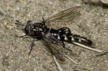 Miltinus viduatus (in the field)