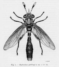 Mydaselpis goldingi