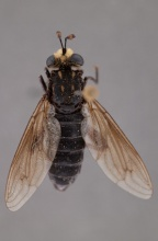 Parectyphus namibiensis (male)