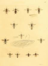 Wiedemann 1831 PLate 3
