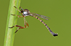 Leptogaster flavipes Loew, 1862 (in the field). Image © Michael Thomas.
