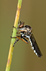 Nicocles politus (Say, 1823) female (in the field). Image © Michael Thomas.