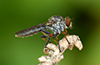 Ommatius tibialis (Say, 1923) female (in the field). Image © Michael Thomas.