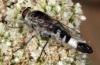 Apiocera (Pyrocera) alleni