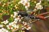 Miltinus stenogaster