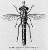 Syllegomydas algiricus